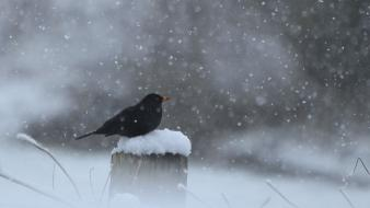 Winter snow black birds wallpaper