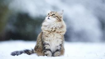Winter snow cats animals looking up blurred background Wallpaper