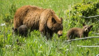 Animals baby bears cubs Wallpaper