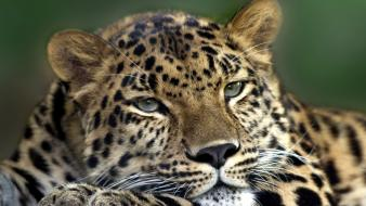 Animals feline leopards amur leopard Wallpaper