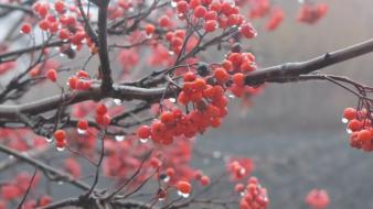 Berries nature rowan tree water drops wallpaper
