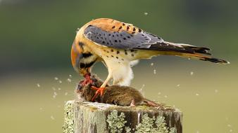 Birds falcon bird feeding of prey wallpaper