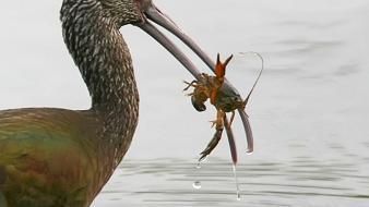 Birds ibis crayfish bird of prey Wallpaper