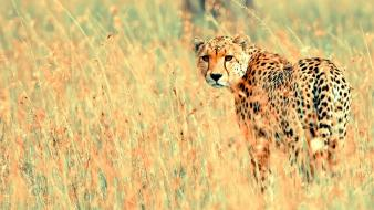 Cheetahs Wallpaper
