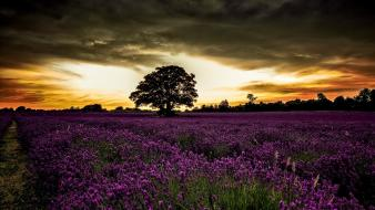 England landscapes lavender meadows overcast wallpaper