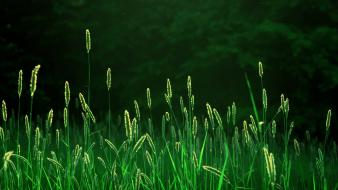Green trees leaves wheat plants spikelets vegetation wallpaper