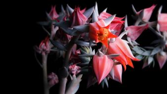 Plants black background pink flowers cactus florianchin wallpaper