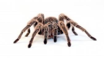 Spiders simple background tarantula white Wallpaper