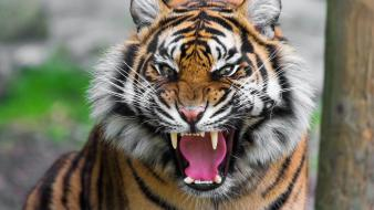 Tiger roar images wallpaper