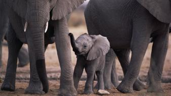 Wild africa animals calf elephants wallpaper