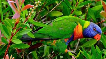 Animals birds multicolor parrots rainbow lorikeet wallpaper