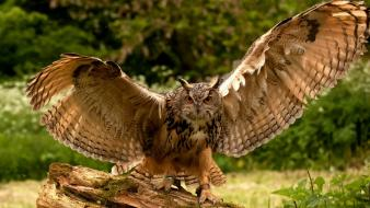 Animals birds nature owls wallpaper