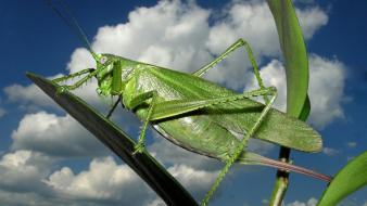 Animals insects grasshopper wallpaper