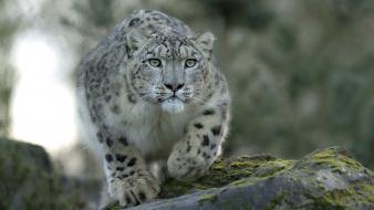 Animals leopards wild cats wallpaper