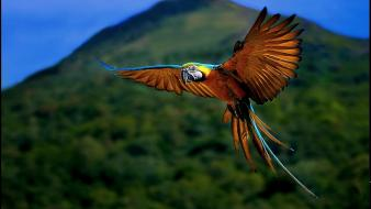 Blue-and-yellow macaws macaw birds blurred background flying wallpaper