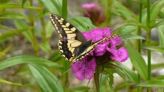 Butterflies insects nature pink flowers wallpaper