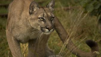 Cats feline hunting nature puma wallpaper