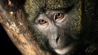 Close-up animals wildlife monkeys primates faces branches wallpaper