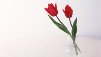 Flowers tulips white background red Wallpaper