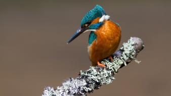 Kingfisher birds Wallpaper