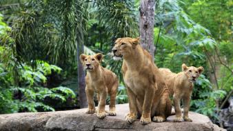 Nature forests animals lions Wallpaper