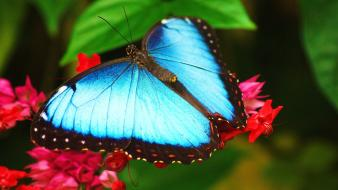 Nature insects blue morpho red flowers butterflies wallpaper