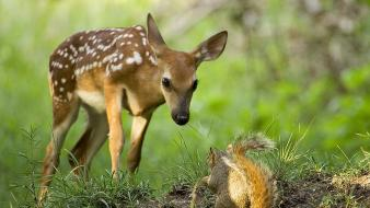 Nature squirrels national geographic roe fawn Wallpaper