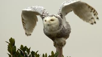 Owls birds bird of prey wallpaper