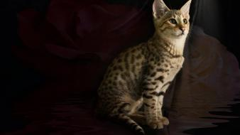 Savannah cat kitten wallpaper