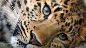 Animals eyes leopards tigers wallpaper