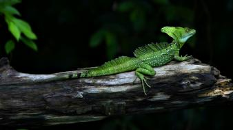 Animals lizards nature reptiles wallpaper