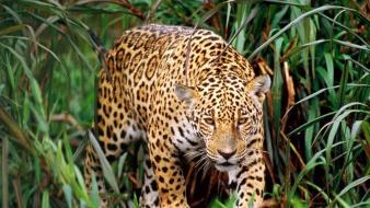 Animals plants jaguars wallpaper