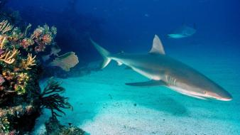 Animals sharks reef caribbean Wallpaper