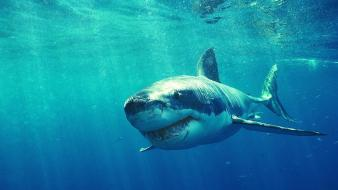 Animals sharks white shark wallpaper