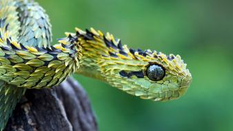 Animals snakes viper reptiles wallpaper