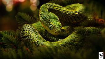 Animals snakes viper reptiles world wildlife fund wallpaper