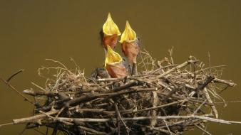 Birds animals nest baby wallpaper