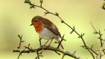 Birds animals robins branch wallpaper
