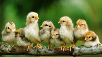 Birds chickens chicks (chickens) baby wallpaper