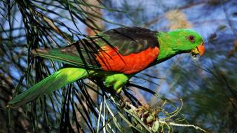 Birds parrots red-winged parrot wallpaper