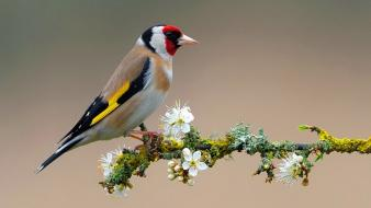 Birds white flowers goldfinch branch Wallpaper