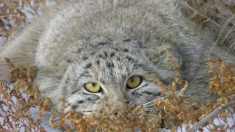 Cats animals manul wallpaper
