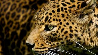 Cats leopards jaguars wallpaper