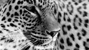 Close-up animals grayscale leopards jaguars wallpaper