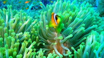 Clownfish and anemone wallpaper