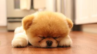 Cute dog boo sleeping Wallpaper