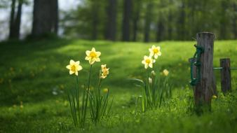 Daffodils flowers grass green trees Wallpaper