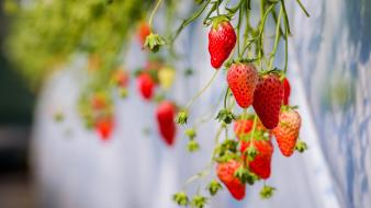 Depth of field fruits nature plants strawberries wallpaper