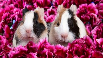 Flowers animals guinea pigs pink wallpaper