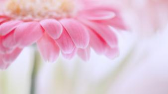 Flowers pink gerbera flower wallpaper